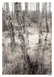 FotoFactory_birch_forest_print